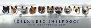 Icelandissheepdogassociation_of_a_2