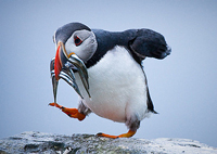 Puffin_with_fish